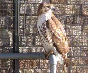 December 2016; hawk I reported to City Wildlife
